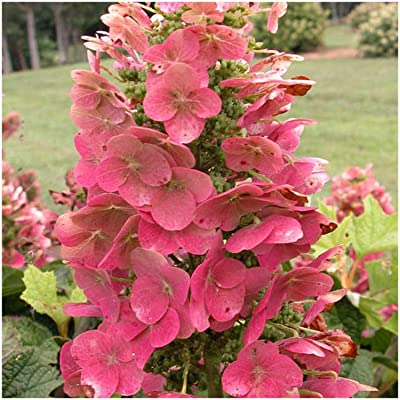 Ruby Slippers Oakleaf Hydrangea - Live Plants Shipped 1 to 2 Feet Tall by DAS Farms (No California) : Garden & Outdoor