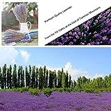 Missblue Lavender Bundle-Air Real Natural Dried