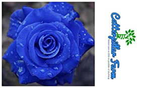 Catterpillar Farm Blue Rose 1 Healthy Live Plant In Poly Bag