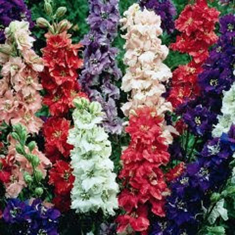 500 SEEDS DELPHINIUM SEED ORGANIC GIANT IMPERIAL MIX STRIKING MIXED COLORS