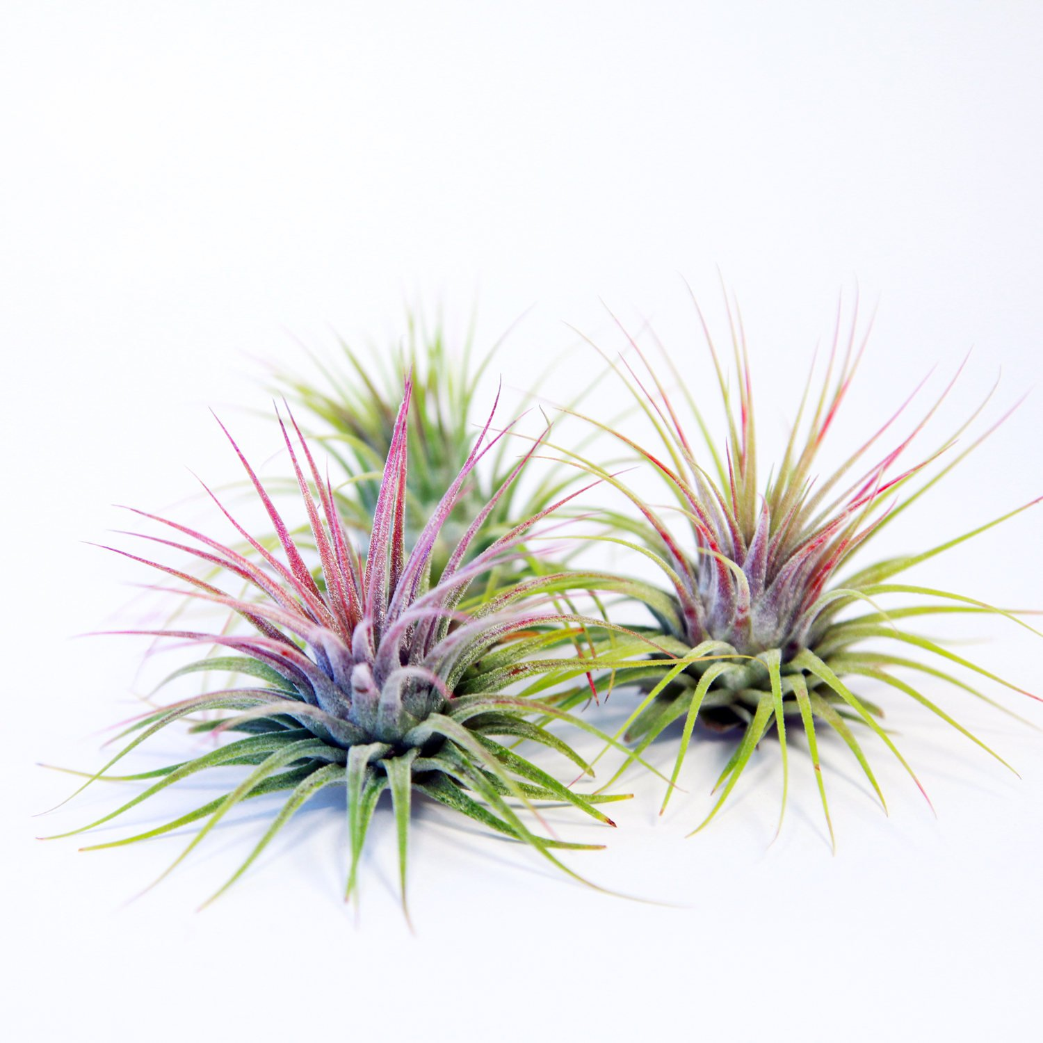 Air Plants - Tillandsia Ionantha Guatemala - Choose Your Custom Quantity - Fast Shipping - Includes Free PDF E-Book (75) by Air Plant Shop (Image #1)