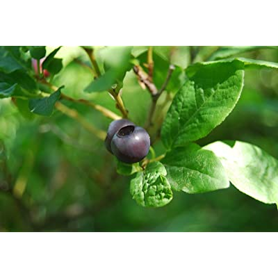 Vaccinium membranaceum THINLEAF HUCKLEBERRY Shrub Seeds : Garden & Outdoor