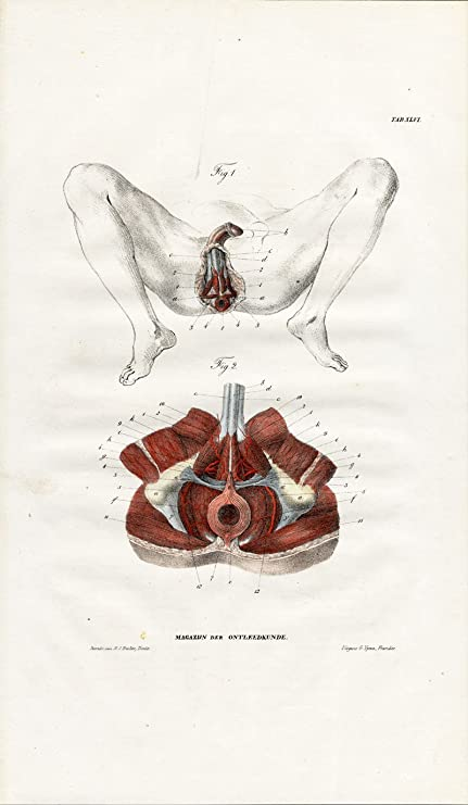 Amazon.com: Antique Anatomy Print-MYOLOGY-MUSCLES-PERINEUM-MALE ...