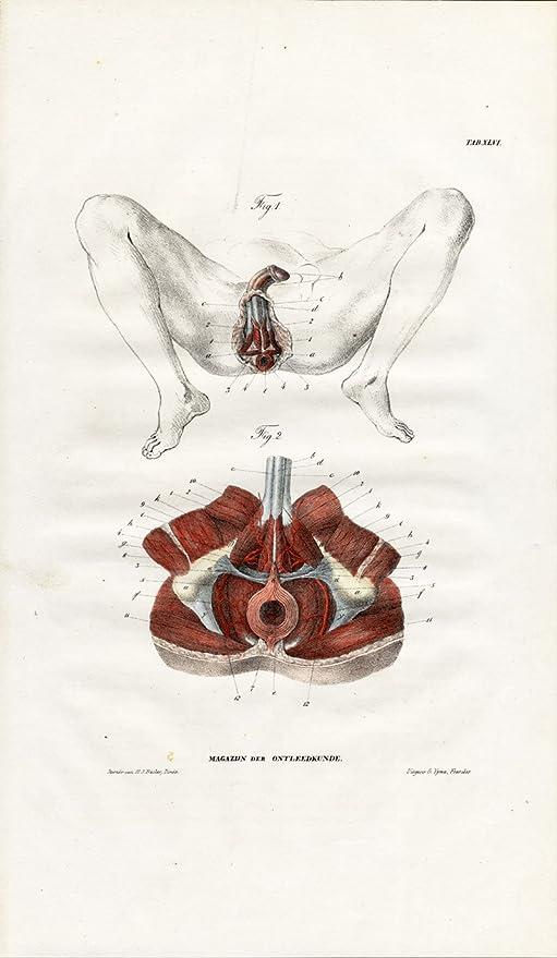 Amazon Antique Anatomy Print Myology Muscles Perineum Male