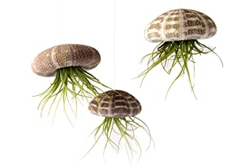 Image result for jellyfish air plants