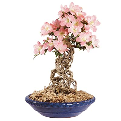 """Brussel's Live Azalea Specimen Outdoor Bonsai Tree - 25 Years Old; 15"""" Tall with Decorative Container: Garden & Outdoor"""