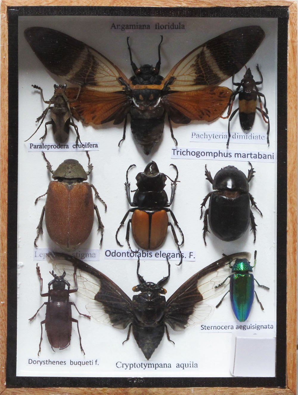 REAL RARE 2 CICADA AND MIXS RARE INSECT TAXIDERMY SET IN ...