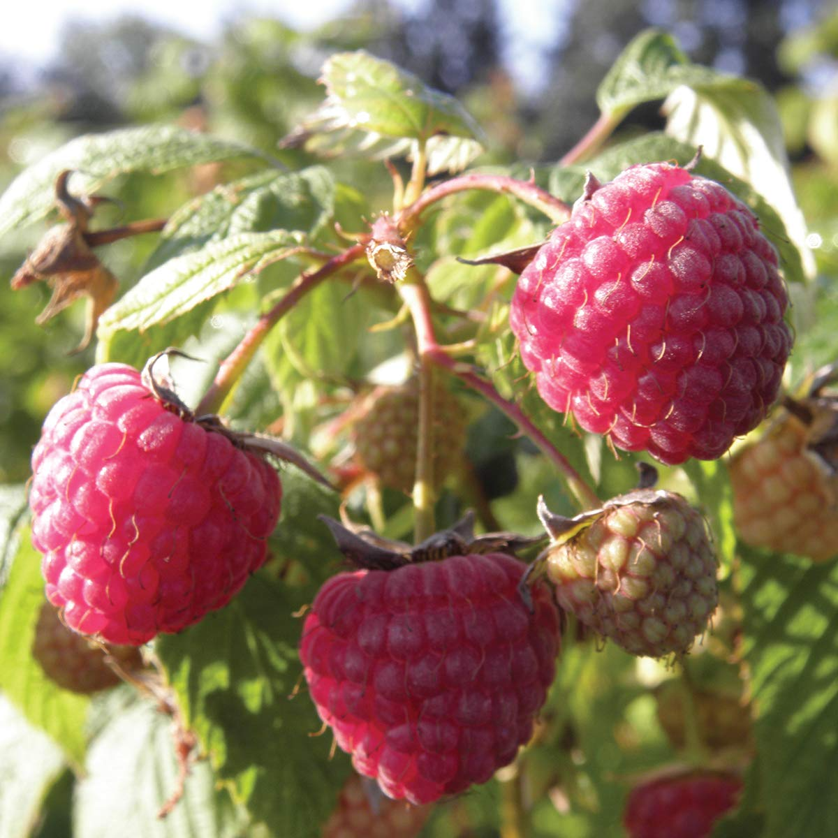 Burpee 'Heritage' Ever-Bearing Raspberry shipped as FIVE BARE ROOT PLANTS by Burpee (Image #1)