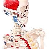 人体骨格模型 直立 スタンド 付 高精度 筋肉起始 85cm 1/2モデル - 8.3602