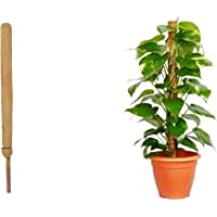 COIR GARDEN - Moss & Coir Stick for Money Plant Support, Indoor Plants, House Plants & Plant Creepers