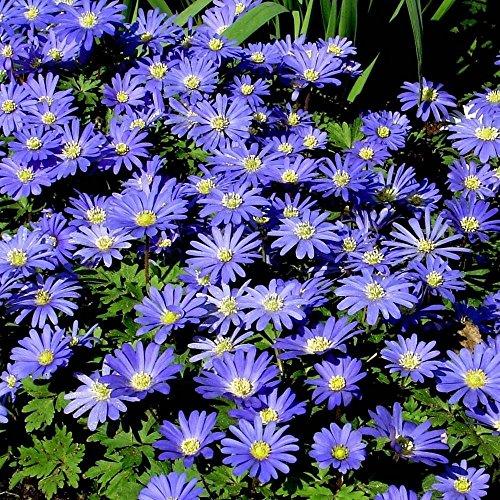 Lulan Anemone blanda Blue Shades - 20 flower (Anemone Blanda Bulbs)