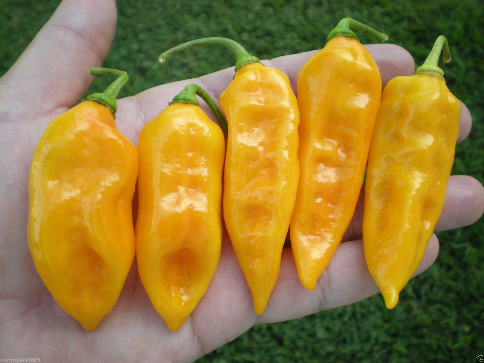 (1000) FATALII HOT PEPPER CHILE SEEDSWHOLESALE