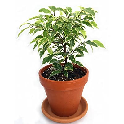 "Jmbamboo - Gardens Starlight Weeping Fig - Ficus - 4"" Clay Pot: Everything Else"