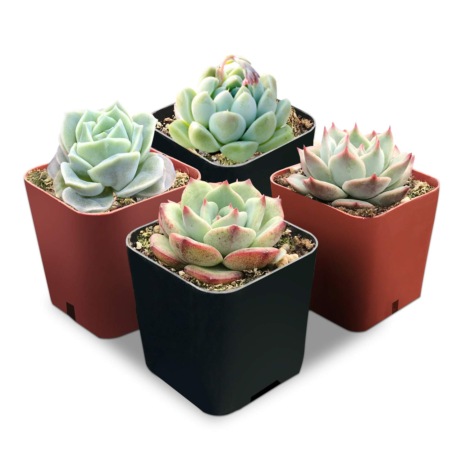 Succulent Plants, Assorted Rosettes, Fully Rooted in 2'' Planter Pots with Soil, Rare Varieties, Unique Real Live Indoor Succulents/Cactus Décor by The Next Gardener (4 Assorted Pack.)