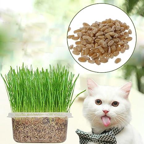 Dabixx 400 Piezas 100% orgánico Gato Hierba Semillas Trigo Catnip Saludable Planta de Tratamiento para