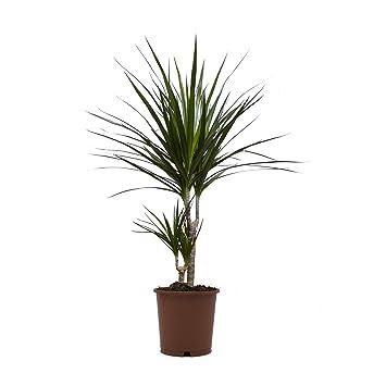 Ananas Baum Dracena Marginata 1 Pflanze 15 17 Cm Topf Ca 50cm