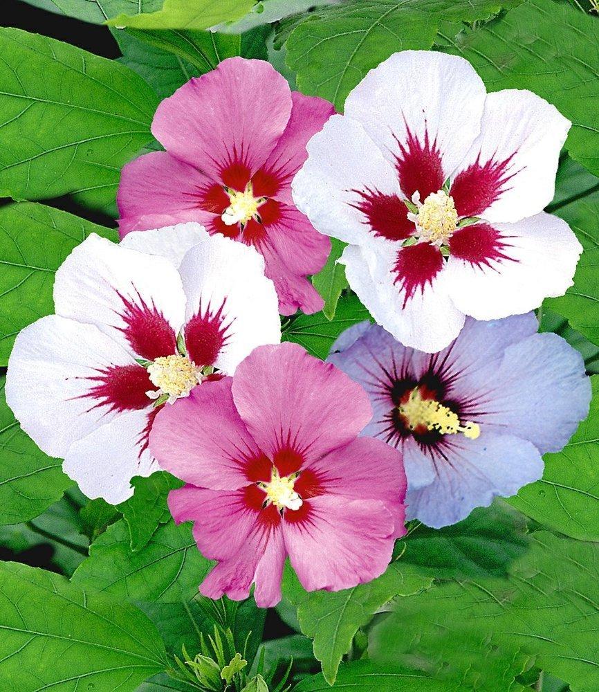 BALDUR Garten Hibiskus Hecke 5 Pflanzen Hibiscus Syriacus