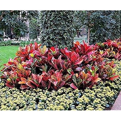 AMERICAN PLANT EXCHANGE Petra Croton Live Plant, 3 Gallon, Indoor/Outdoor Air Purifier : Garden & Outdoor