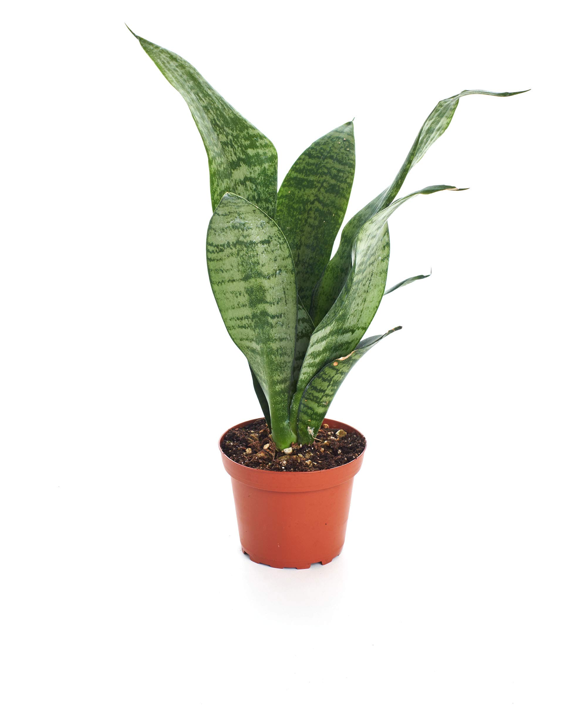 Shop Succulents Indoor Air Purifying - Live Sanseveria Robusta 4'' - Snake Plant, 1, Green