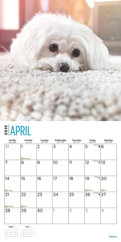 Maltese 2019 16 Month Wall Calendar 12 x 12 Inches