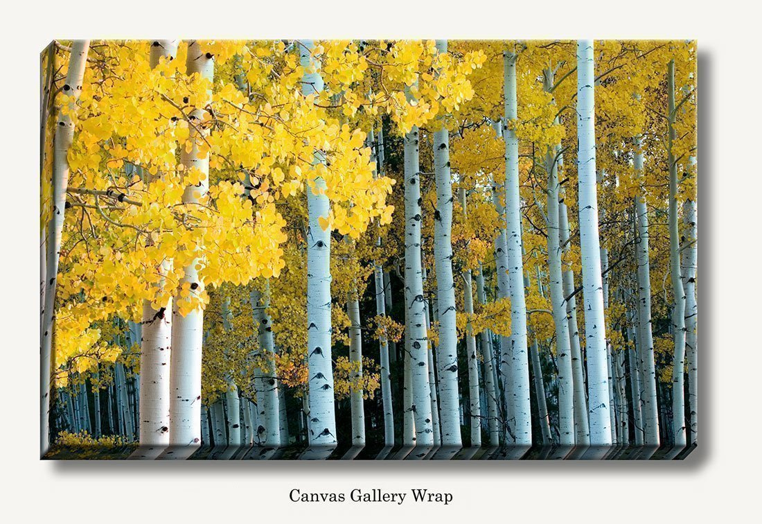 Amazon.com: Forest of yellow Aspen trees during fall and the ...