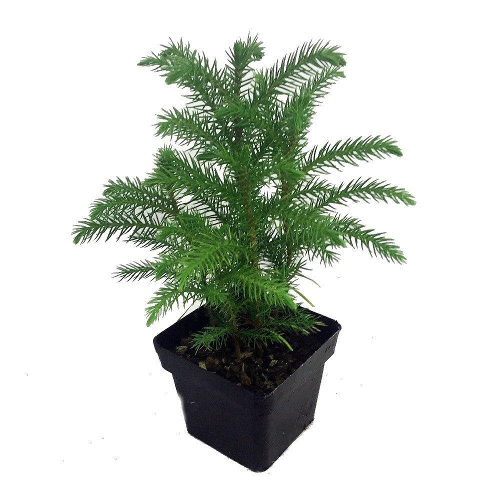 Amazon.com: Norfolk Island Pine -Indoor Christmas Tree - 3\