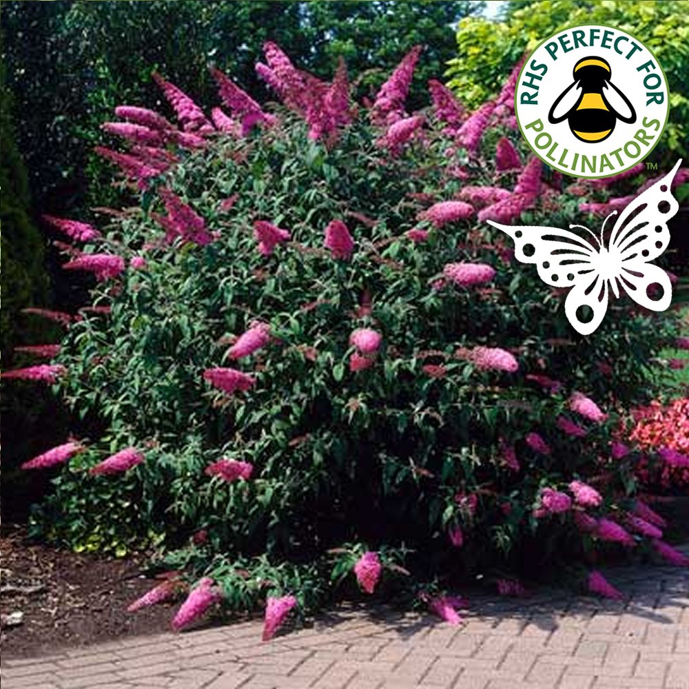 1 X BUDDLEJA DAVIDII 'SUGAR PLUM' BUTTERFLY BUSH DECIDUOUS SHRUB PLANT IN POT Gardener's Dream