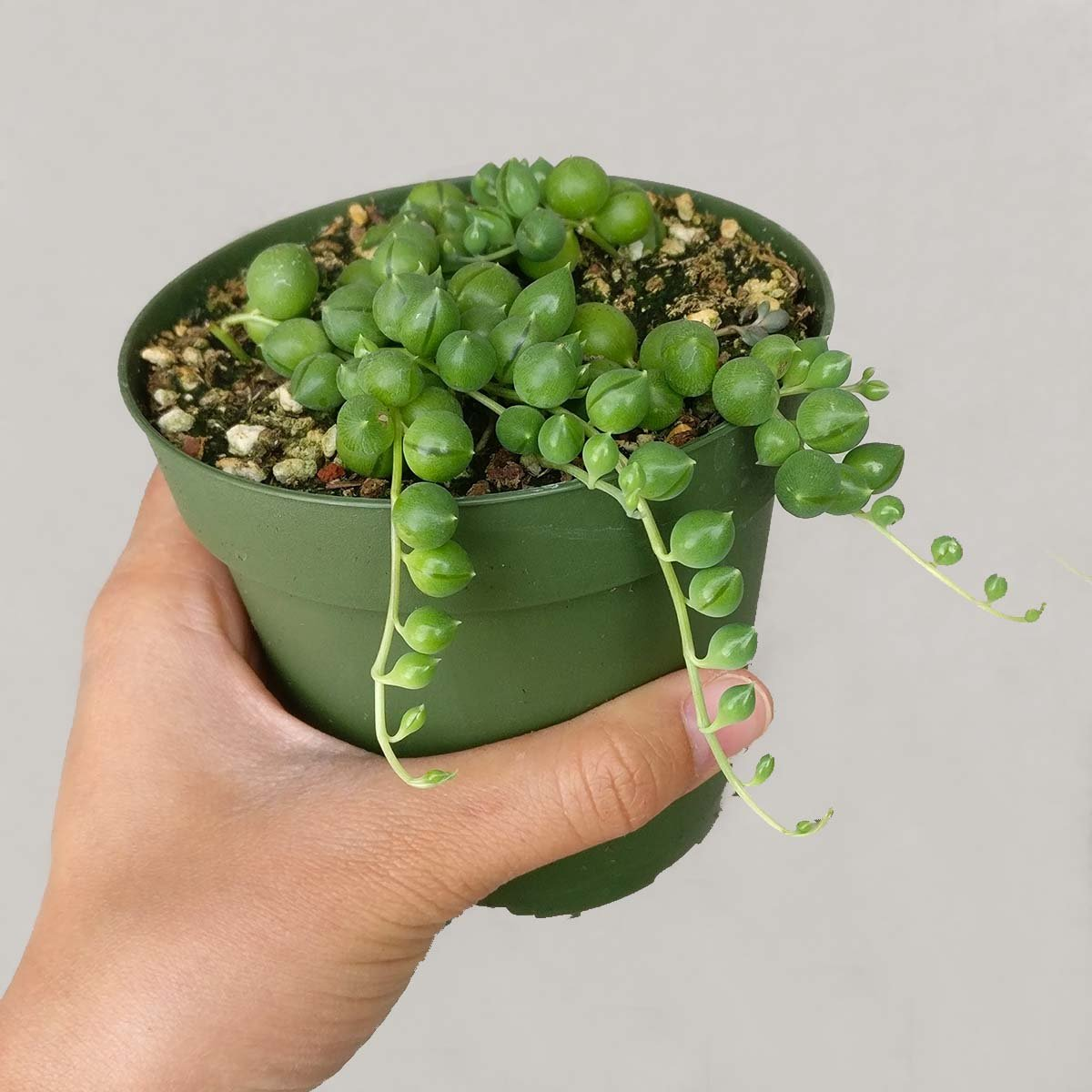 DH7 Enterprise (4 inch) Succulents String of Pearl