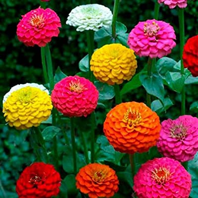 Zinnia- Cut & Come Again Mix- 100 Seeds : Garden & Outdoor
