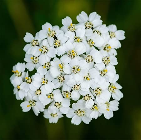 Organic western Yarrow wildflower 25+seeds flower and a herb