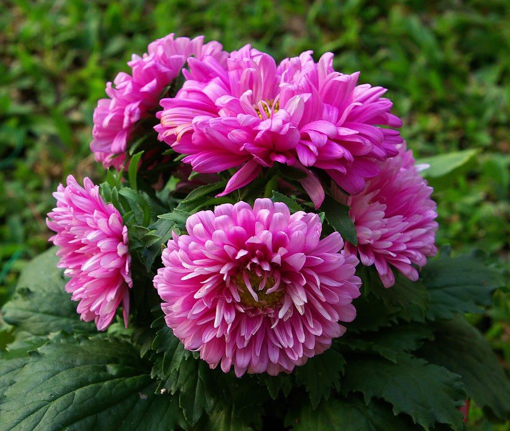Amazon 30 Duchess Pink Paeony Aster French Peony Callistephus