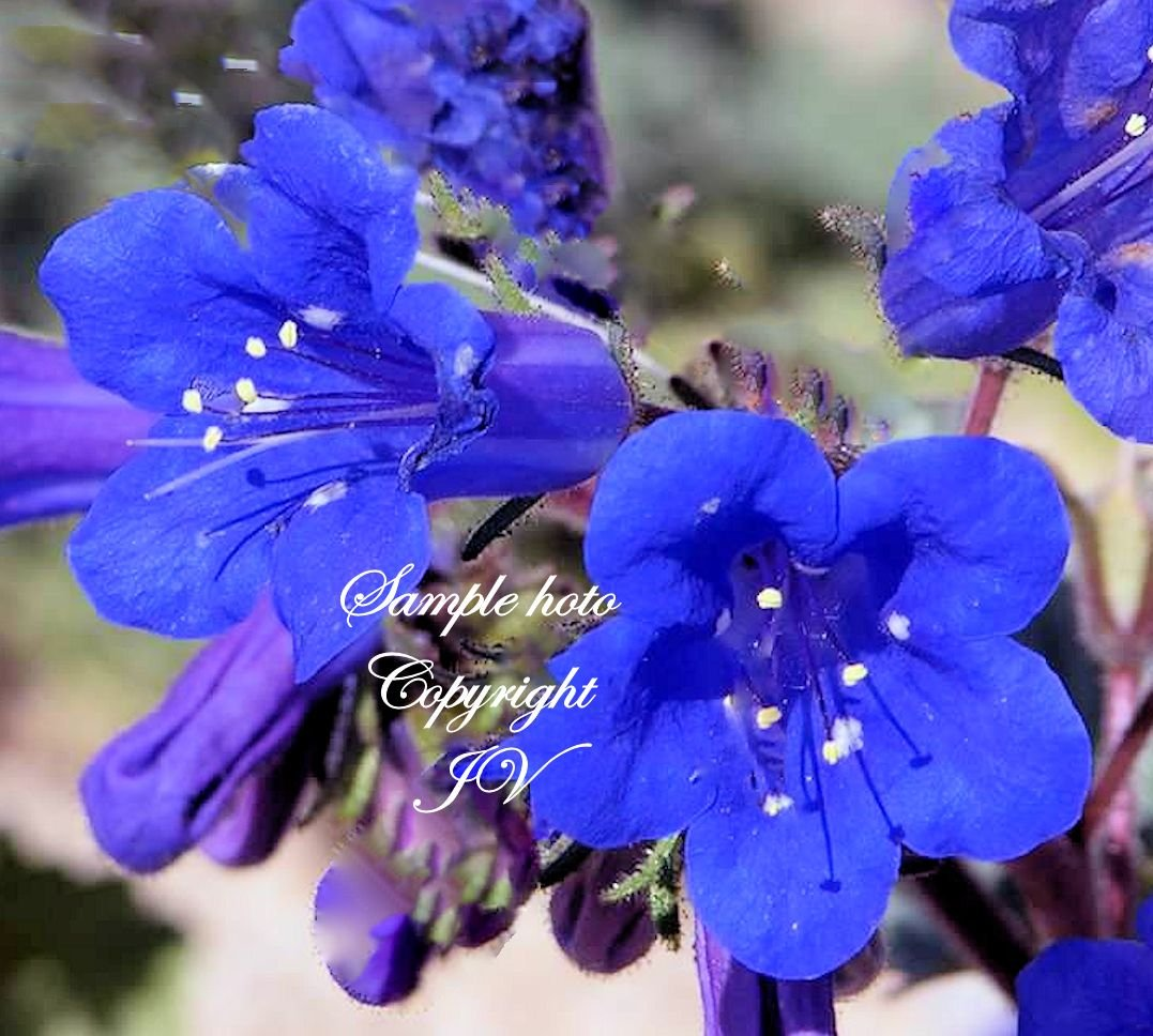 Seeds California Bluebell Drought Tolerant Bright Flowers Attracts