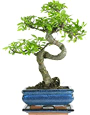 Chinese Elm, Bonsai, 7 Years, 27-32 Centimetres