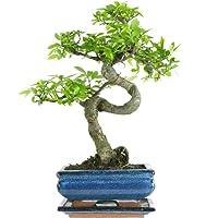 Chinese Elm, Bonsai, 7 years, 27-32 Centimetres
