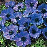 20 BLUE ANEMONE MR FOKKER CORMS BULBS FOR BORDER PATIO ROCKERY GARDEN PERENNIAL PLANT