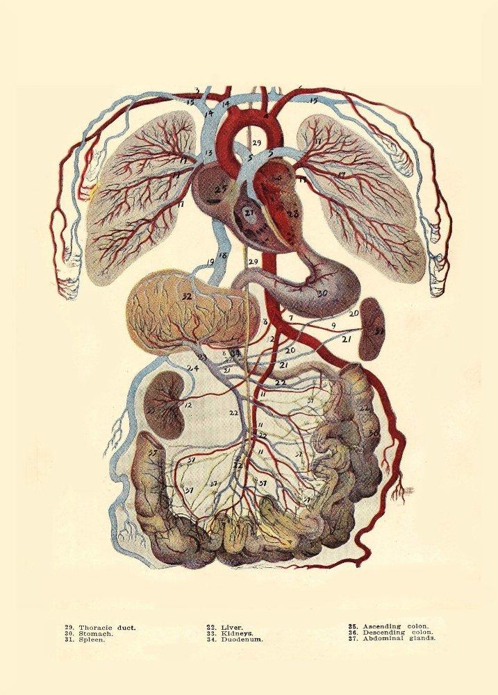 Amazon.de: Vintage Anatomie Schlagt die Echthaar Kreislauf-System ...