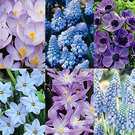 Amazon All Blue Spring Garden 100 Flower Bulbs Flowering
