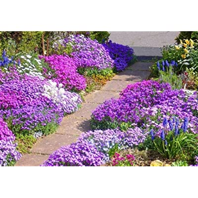 200 Rock Cress Seeds - Royal Mix (Aubrieta Hybrida) compact, ground cover : Garden & Outdoor
