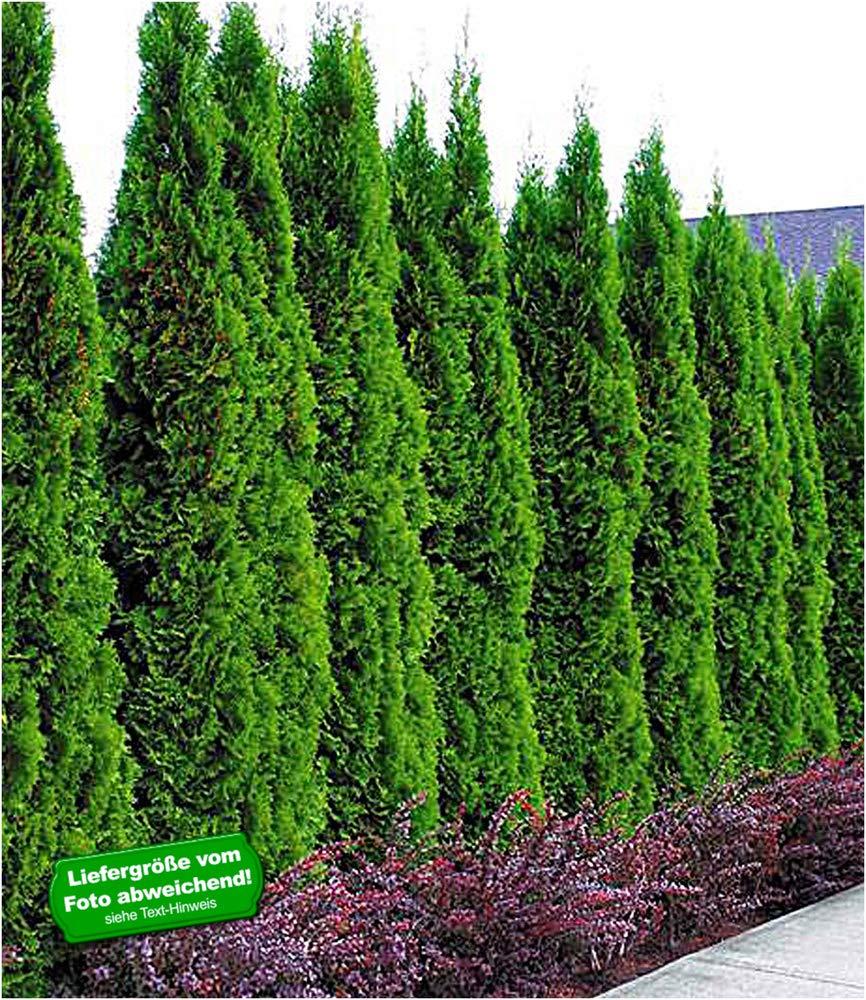 Platz 5 – BALDUR-Garten Thuja occidentalis Smaragd Lebensbaum