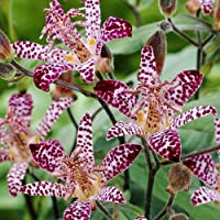 1x Rizoma Tricyrtis Plantas de jardin Flores para plantar Bulbos de primavera Lirio de sapo Empress