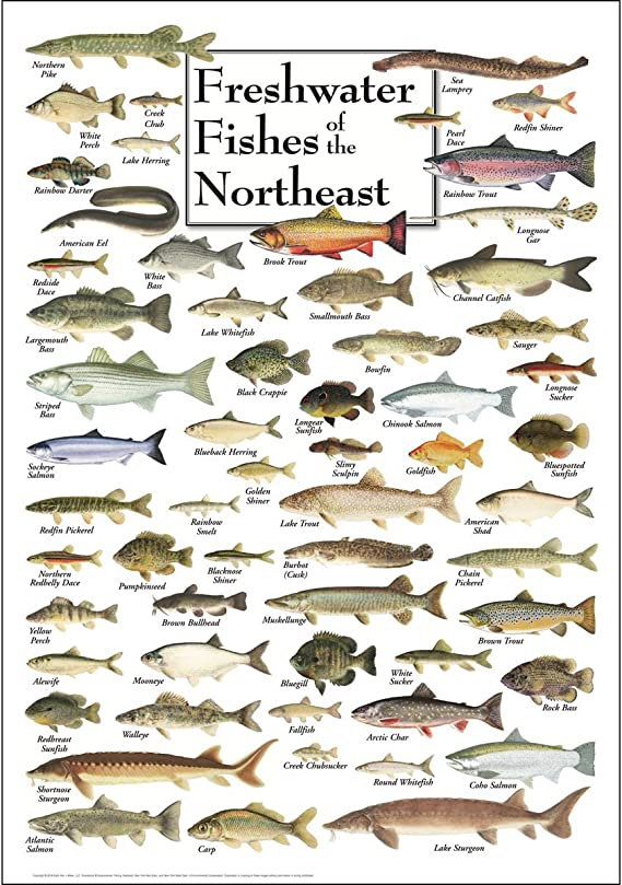 Amazon Com Earth Sky Water Poster Freshwater Fishes Of The Northeast Posters Prints