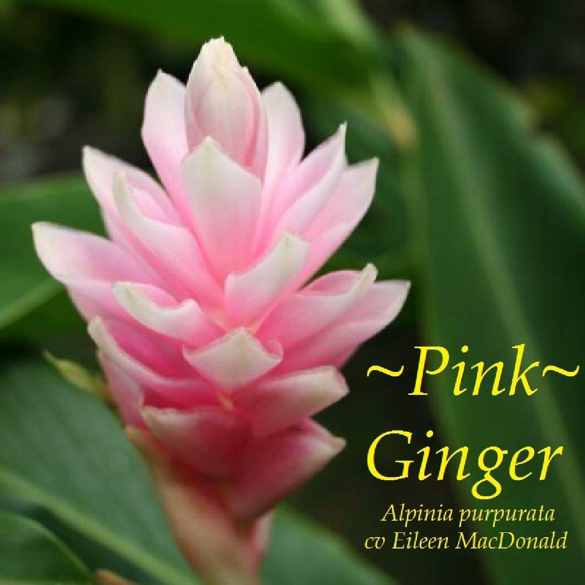 Amazon Pink Ostrich Plume Ginger Alpinia Purpurata Hawaii