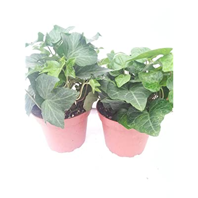 "Two Ivy Plants Baltic English Hardy Groundcover 4""Pot Plant Hedera Helix Outdoor : Garden & Outdoor"