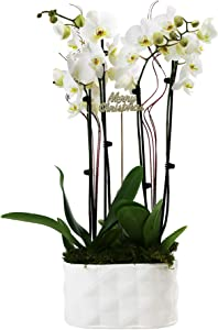 """Just Add Ice JAI352 Holiday Orchid Planter Christmas Décor or Gift, Easy Care Live Plants, 10"""", White, White Pot"""