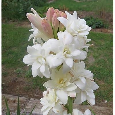10 Polianthes tuberosa Bulbs, Double Flowering Tuberose, Rajanigandha Bulbs : Garden & Outdoor