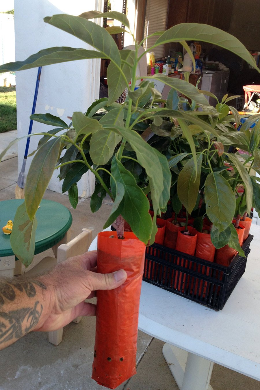 Hass Avocado Tree, Grafted - Live Avocado Tree by Unknown (Image #2)
