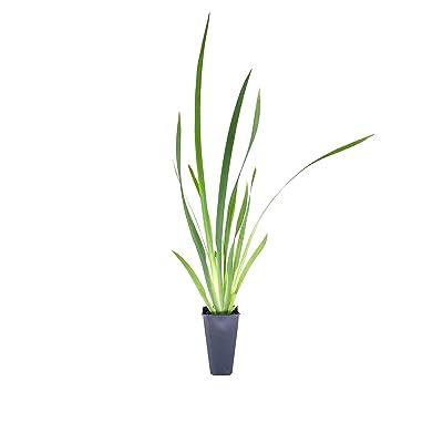 African Iris White - 60 Live Plants - Dietes Iridioides - Drought Tolerant Groundcover Grass : Garden & Outdoor [5Bkhe1903079]
