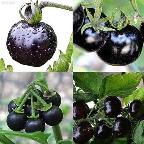 ScoutSeed 1114 Tomates saludables Semillas Tomate Semilla Huerto ...