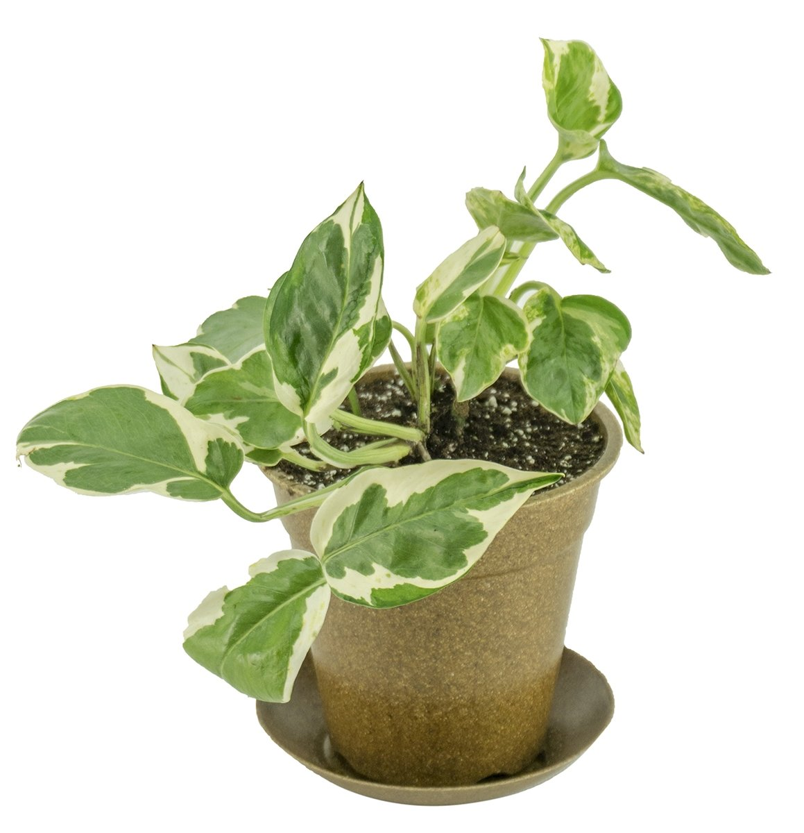 Clean Air Plant in Eco-Friendly Pot - Pothos