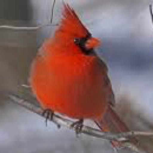 Amazon.com: Cardinal Bird Wallpaper -- HD Wallpapers Of
